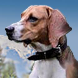 Meet Frasier, exemplar of the noble foxhound breed. Bit like a beagle on stilts.